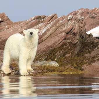 Polar bear.