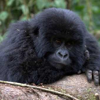 Posing Gorilla