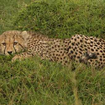 Bright eyed cheetah cub