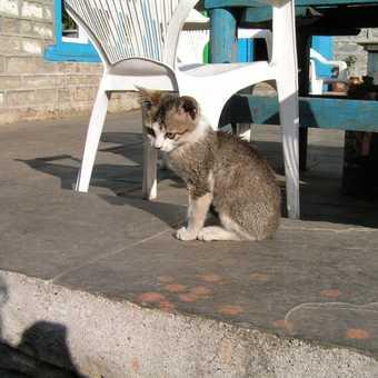 Nepalese wildcat.