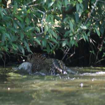 One of the two jaguars that swam in front of our boat in Tortuguero a real treat for our group