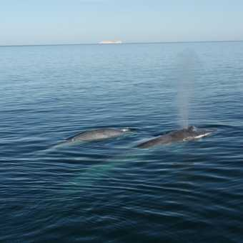 Blue whale and calf