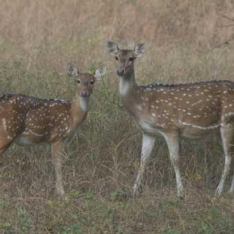 Deer at Ranthanbore - Hills of Rajasthan Nov 2007