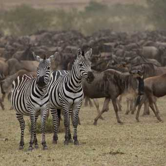 Two zebra and a lot of wildebeest