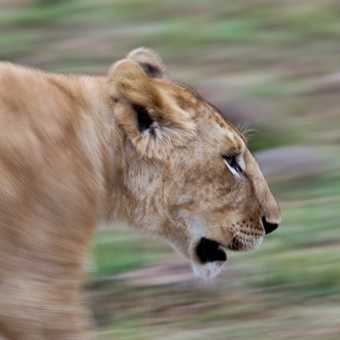 Slow Pan of Lioness