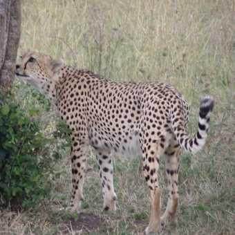 Inquisitive cheetah