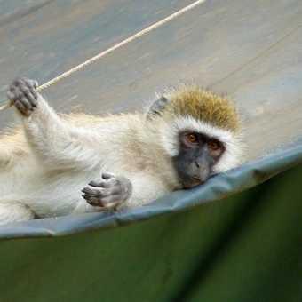 cheeky bloody monkey!