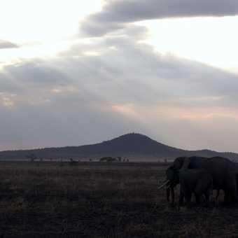Grey Crowned Crane - Ngorongoro Crater