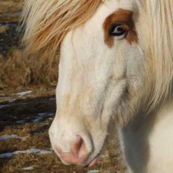 Iceland highland horse with blue eyes