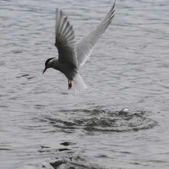 Adelie Penguin: Paulet Island - Antarctica