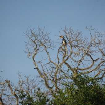 Hornbill @ Yala Park