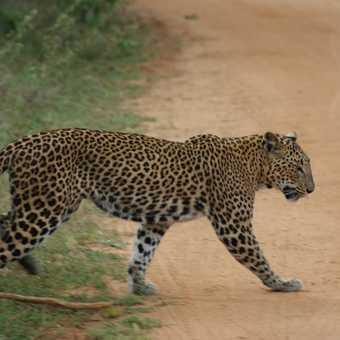 Leopard in Yala NP