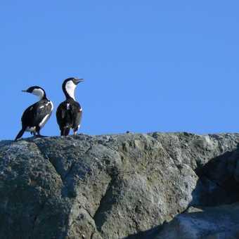 Antarctic Shag