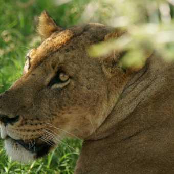 Close-up of lioness, Lake Nakuru, Kenya