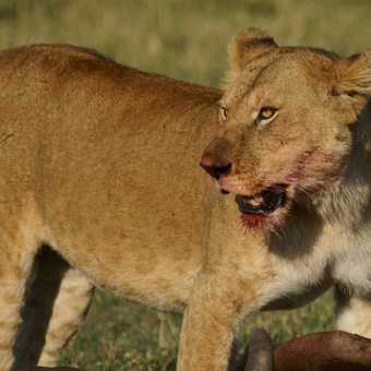 Lioness and kill early in the morning in the Masai Mara