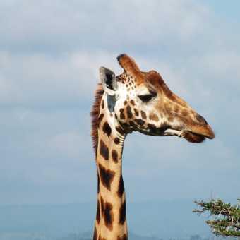 Our first ever leopard sighting, Maasai Mara NP