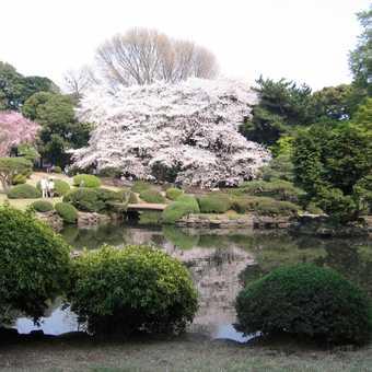 Cherry blossom in Shinjuka Gardens