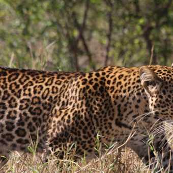 An elusive leopard walks through the undergrowth