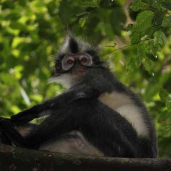 punky (Thomas leaf) monkey