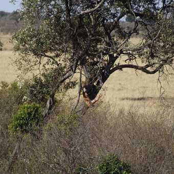 lepoard with reedbuck in masia mara