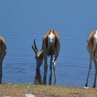 Thirsty Springbok
