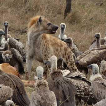 Hyaena surrounded