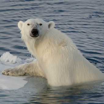 The close up Polar Bear