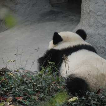 panda-tastic
