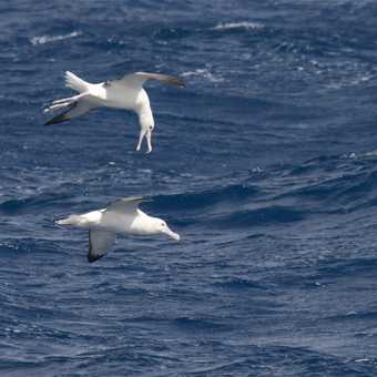 Wandering Albatross having a chat in mid air - Drake Passage
