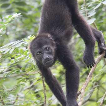 howler monkey in Tortuguero NP