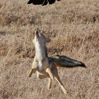 Vulture takes to the skies to escape Jackal