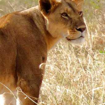 Relaxing lioness in Masai Mara
