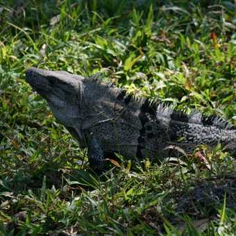 A splendid iguana