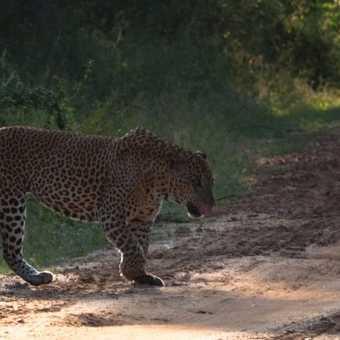 leopard male 1