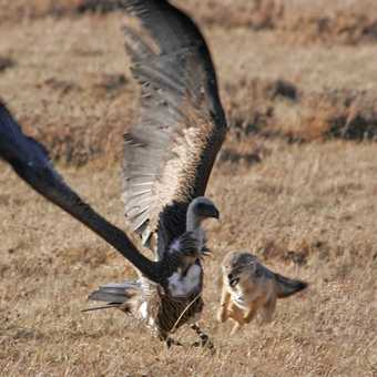 Jackal chases of Vulture