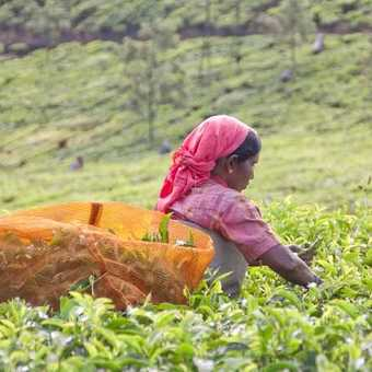 Picking Tea - 1