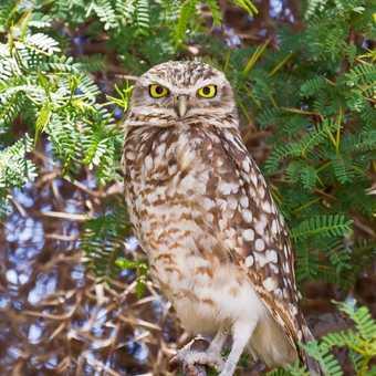 Burrowing Owl, Atacama Desert