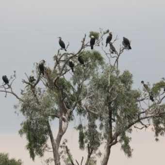 cormorants lodging-Lake Bunyonyi