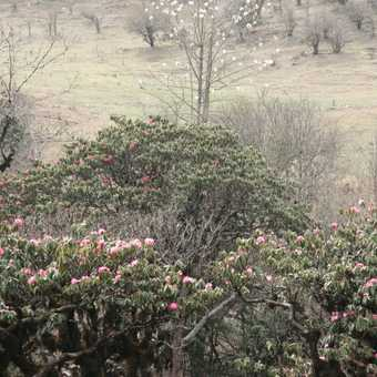 Rhododendron and Magnolia