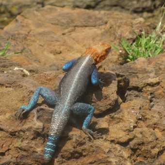 aman lizard