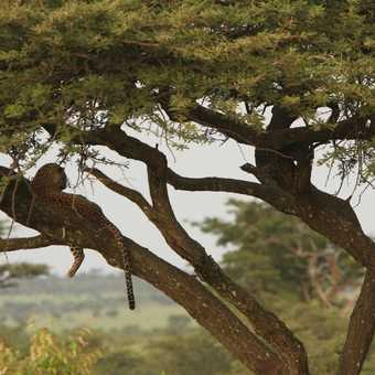 Elusive leopard up a tree