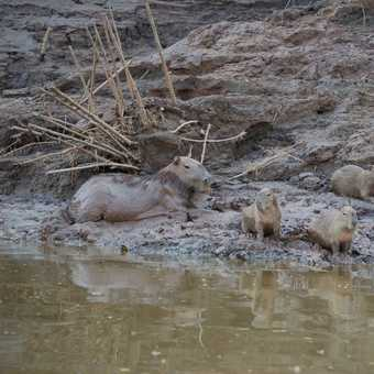 A family of Capybara by the river