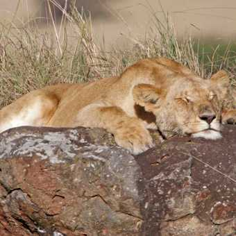Chilled Lioness