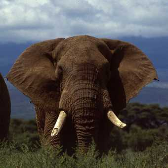 Old Eli in Amboseli