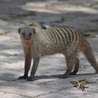 Cheeky banded mongoose I think