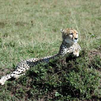 Cheetah - Masai Mara