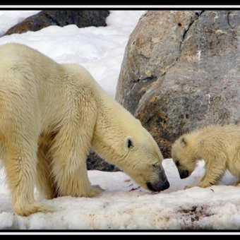 Polar Bear & Cub 1