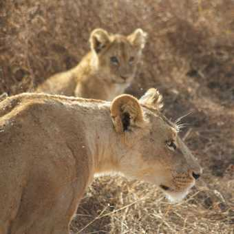 Lioness and cub, Ngorogoro Crater
