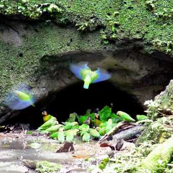 Several different parrot species drinking at the clay-lick near Napo River.