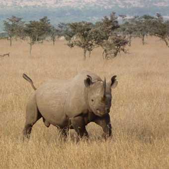 Ol Pejeta Black Rhino